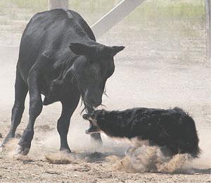 dance-cattle-10-3pine07