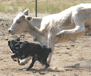 dance-cattle-11-3pine07