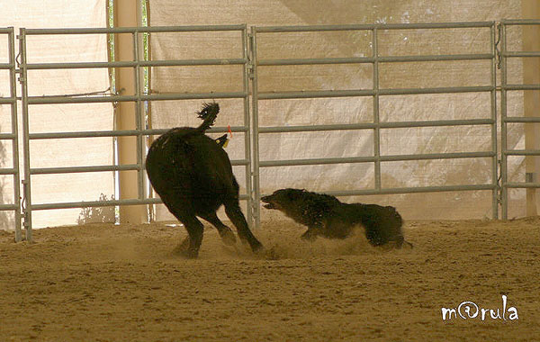 dance-cattle2-ntls08