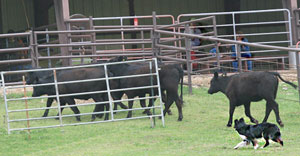 dance-cattle4_4-08