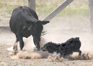 dance-cattle7-3pine07