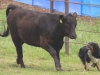 dance-cattle3_4-08