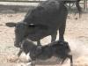 dance-cattle4-3pine07