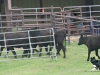 dance-cattle4_4-08