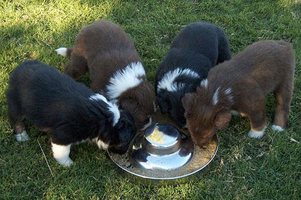 dance09-pups-eating_4-7