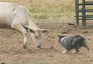 eli-cattle-2_3pine07