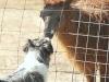 eli-alpaca-meeting