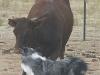 eli-cattle-4_3pine07