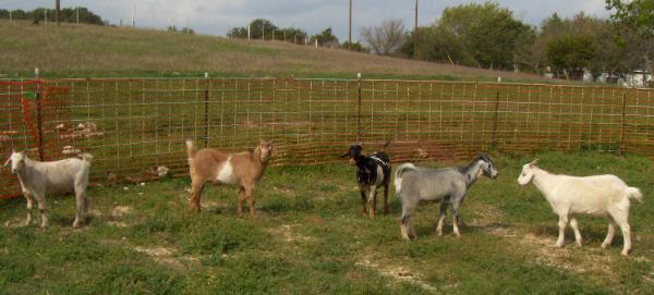 goats-12-09-hpim1561