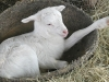 lamb-in-bucket-06