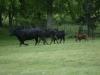 trip-w-cattle1-2013-jpg