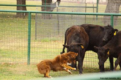 trip-cattle-2013b-jpg