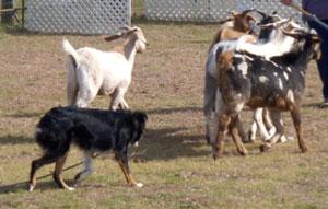 willa-goats-12-09-hpim1610