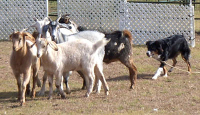willa-goats-12-09-hpim1611