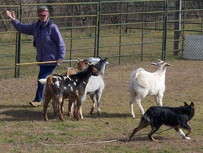 willa-goats-12-09-hpim1612