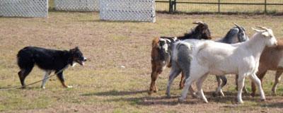 willa-goats-12-09-hpim1614
