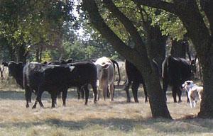 Luca-cattle-pasture