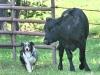 eli-cattle-classic07-0542