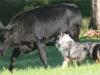 eli-cattle13-classic07_27_042