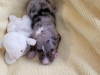 Blue merle female, 1 week old, as are all the pups. splash of white on face, white feet, copper