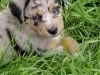 6 weeks old, blue merle male,  Grey Boy