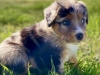 5 week old , female puppy, Blue Merle.  sweet, smart, chases the flag