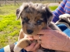 Blue merle male, 5 weeks old, chases a flag, very sweet, plays hard