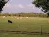 pasture-cattle_0