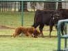 trip-cattle-2013c-jpg