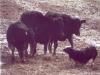 cattlechallstonewall02